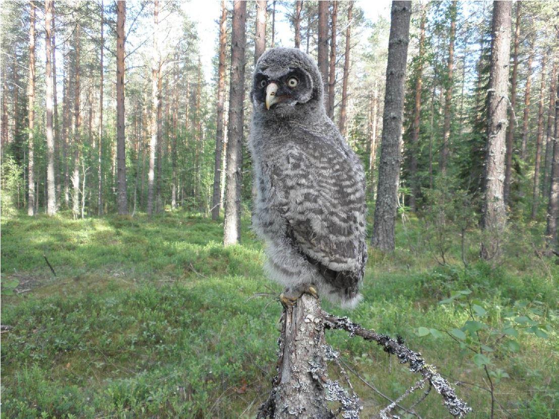 Lapinpöllö (Hannu Lehtoranta)